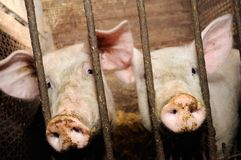 Free Pigs Behind Bars In Barn Royalty Free Stock Image - 21073276