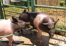 Pigs being washed after a county fair in colorado Stock Photo
