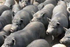 Pigs  big Royalty Free Stock Photos