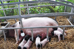 Pigs are breastfeeding Royalty Free Stock Image