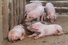 Pigs are brought together food stall in the build out of wood. Royalty Free Stock Photos