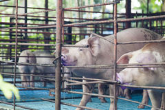 Pigs in a cage Royalty Free Stock Photos