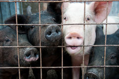 Pigs in cages. Pigs in cage chewing on bars Royalty Free Stock Photos