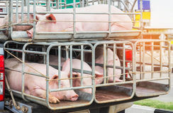 Pigs in cages on truck transport. Go to the slaughterhouse stock photo