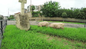 Pigs in city stock footage