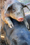 Pigs copulating Royalty Free Stock Photo