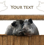 Pigs couple Royalty Free Stock Photography