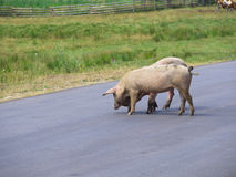 Pigs crossing the road Stock Image