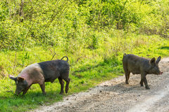 Pigs crossing the road Stock Photography