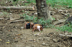 Pigs in cuba Stock Image
