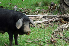 Pigs in cuba Royalty Free Stock Images