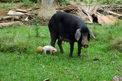 Pigs in cuba Royalty Free Stock Image