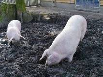 Pigs dig the ground with their snouts Stock Images