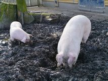 Pigs dig the ground with their snouts Stock Photo