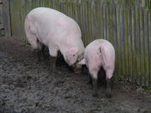 Pigs dig the ground with their snouts Royalty Free Stock Photo