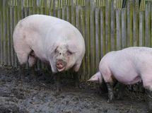 Pigs dig the ground with their snouts Stock Image