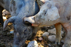 Pigs. A dirty muddy pig licking another pig Royalty Free Stock Image