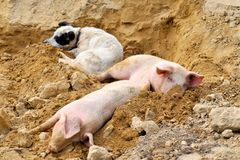 Pigs and dog outdoor Royalty Free Stock Images