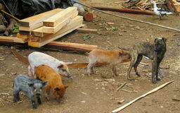 Pigs and dog. Three small pigs in the mud, domestic animal on the farm stock photos