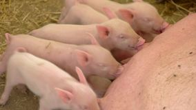 Pigs drink milk from sow. stock footage