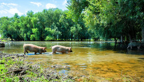 Pigs drinking water from the lake Royalty Free Stock Photo