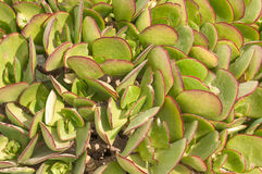Pigs ear, Cotyledon orbiculata. The pigs ear, Cotyledon orbiculata, is a succulent plant indigenous to South Africa Royalty Free Stock Photo
