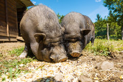 Pigs eat, close-up view, summer Royalty Free Stock Image