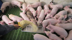 Pigs eat food by pushing each other on a pig farm. Pigs eating from a trough.