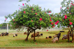 Pigs eat grass under trees with flowers Stock Images