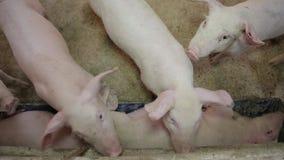 Pigs eat stock video