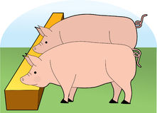 Pigs Eating. From a trough Royalty Free Stock Images
