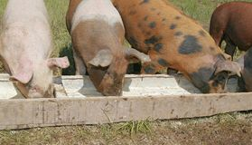 Pigs eating Stock Photography