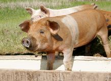 Pigs eating. A couple of pigs eating in a trough together Royalty Free Stock Photo