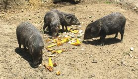 Pigs Eating Bananas at Wildlife Sanctuary. Black pigs having a meal at Amaru Zoológico Bioparque in Cuenca Ecuador Stock Image