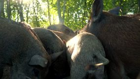 Pigs eating food from feed trough back view. Pig farming. Pigtails. Pigs eating food from feed trough back view. Close up feeding pigs at animal farm. Pigs stock footage