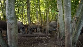 Pigs eating food from feed trough on livestock farm. Pig farming. Pigs on farm. Pigs eating food from feed trough on livestock farm. Feeding pigs at animal farm stock video footage