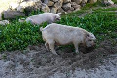Pigs eating grass in the open field royalty free stock photo