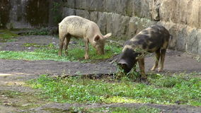 Pigs eating grass stock video footage