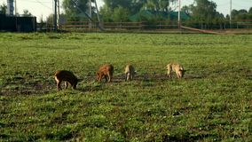 Pigs eating green grass on field at livestock farming. Cute piglet at farm. Pigs eating green grass on field at livestock farming. Piglets at animal farm on stock footage