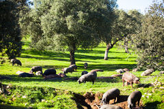 Pigs eating and resting at countryside. Royalty Free Stock Photography