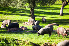Pigs eating and resting at field. Royalty Free Stock Photos