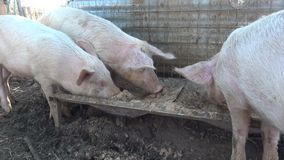 Pigs Eating. Three funny young pigs eating their food in the stable stock video footage