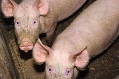 Pigs eating from a trough. Stock Photo