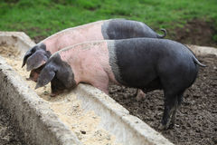 Pigs eating. Two pigs eating at the trough Royalty Free Stock Photos