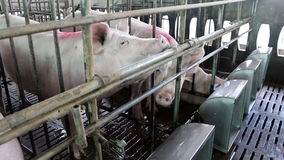 Pigs eating water in pig farm stock video
