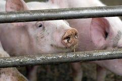 Pigs on an eco farm Stock Photo