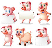 Pigs with empty signboards Royalty Free Stock Images