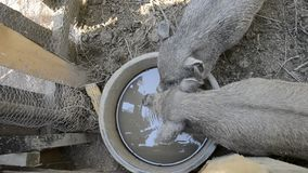 Pigs family drinking water from bowl on rural farm yard, Young Vietnamese piggy feed on traditional farmyard stock video