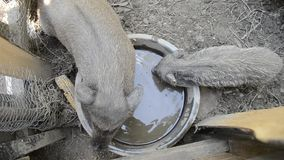 Pigs family drinking water from bowl on rural farm yard, Young Vietnamese piggy feed on traditional farmyard stock footage