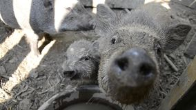 Pigs family looking and sniffing at camera on rural farm yard, Young Vietnamese piggy feed on traditional farmyard stock video